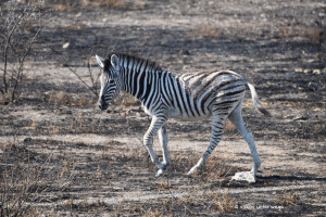 Junges Zebra